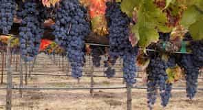 Callaway vingård