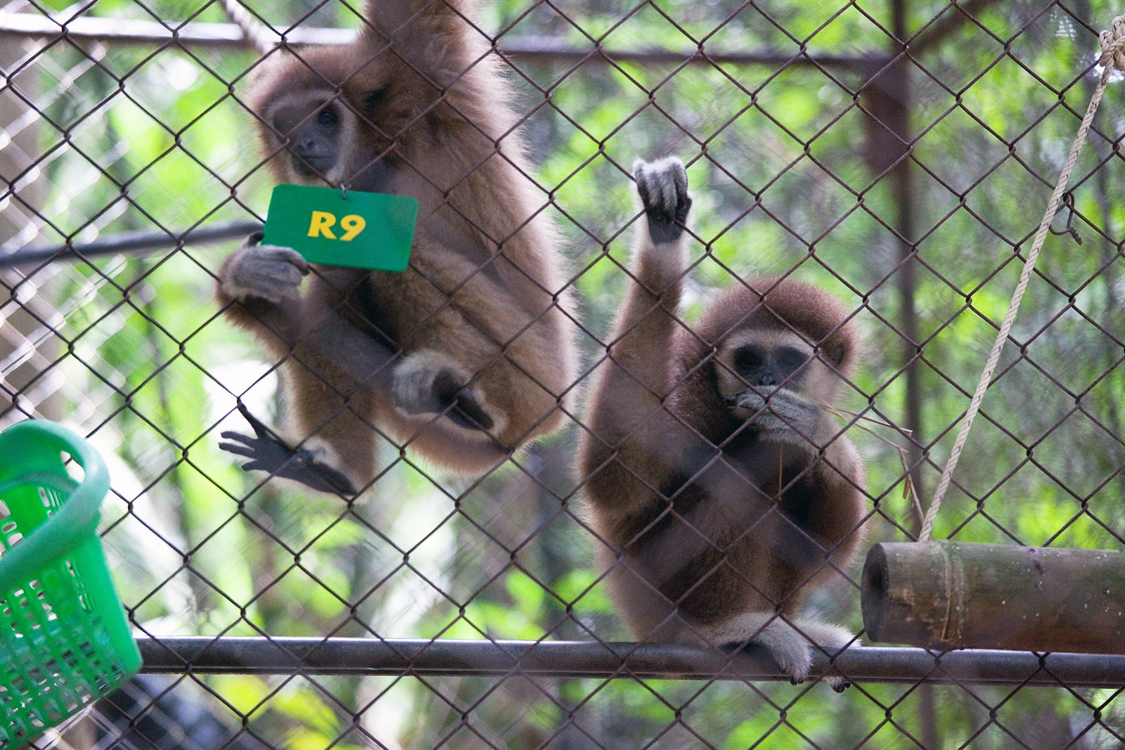 Gibbon Rehabilitation Project - Wildlife Conservation in